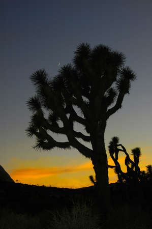 Sunset of moon and tree silhouette in California's Joshua Tree National Park.