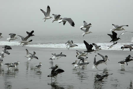 Seagulls flying on Drakes Beach, California photo