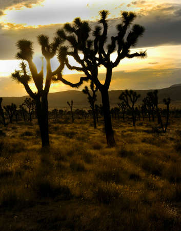 Two Joshua trees as sun set in the distance