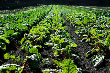 roughage: Farm with large swiss chard field.