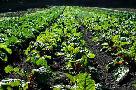 thrive: Farm with large swiss chard field.
