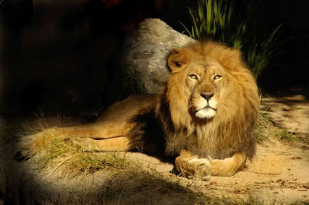 den: The king of all lions rests near his den.