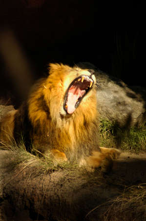roar: A lion roars at his best. Stock Photo