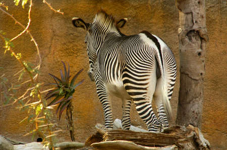 culdesac: A zebra is at an impasse infront of a tall wall. Stock Photo