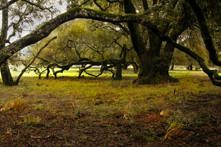 Old growth oak forest dances like a ballerina photo
