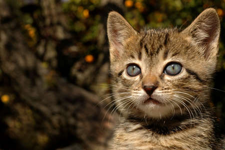 A beautiful Kitten ponders life, orange trees a blur in the background. Archivio Fotografico