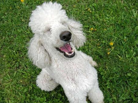 standard poodle: A standard poodle appreciates a good joke Stock Photo