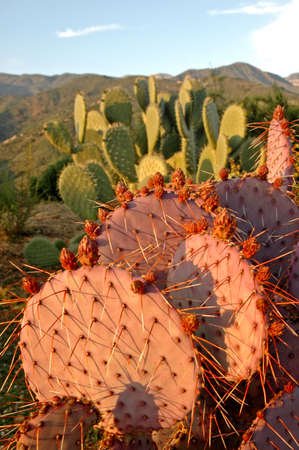 A pink California cactus in the desert at sunset Archivio Fotografico