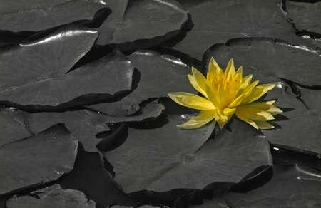 A beautiful yellow water lily shines