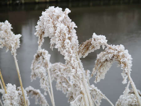 waters edge: Frozen reeds at the waters edge