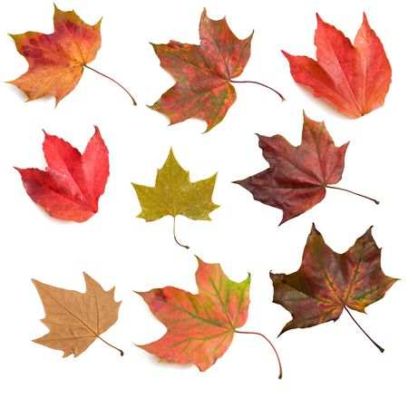 red maples: Set of autumn leaves