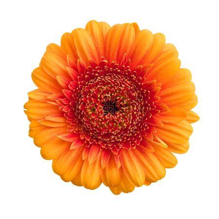 Isolated orange gerbera flower photo