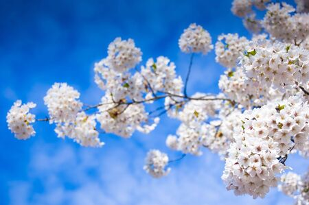 spring flowering on a blue cloudy sky photo