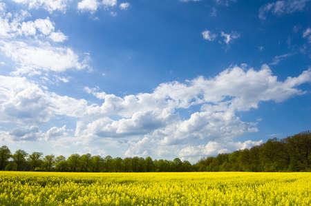 rape landscape - yellow field, blue sky photo