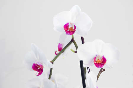Beautiful white orchid on a grey background photo