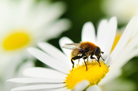 closeup of a bee on a flower photo