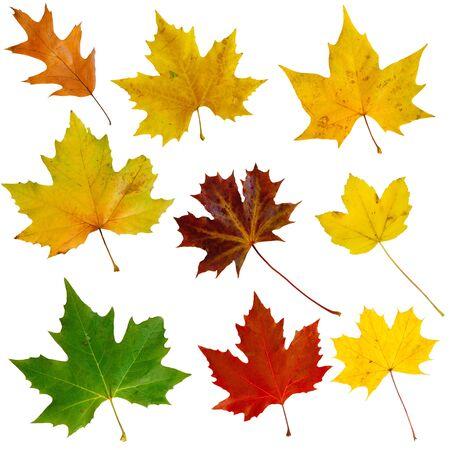maple leaf: Set of nine isolated autumn leaves