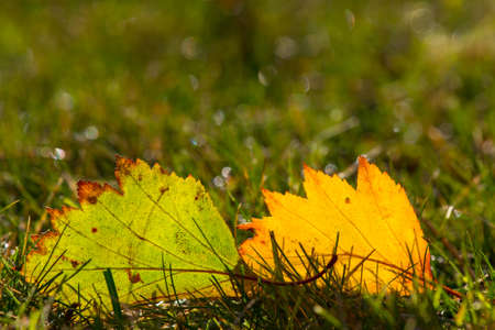 Pair of autumn leaves in lawn