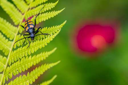 Longhorn beetle on fern leaf