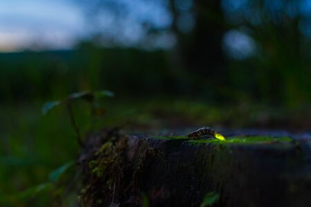 Glowworm in summer night landscape