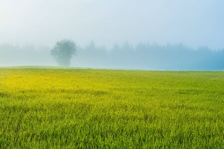Single tree in misty field Stock Photo