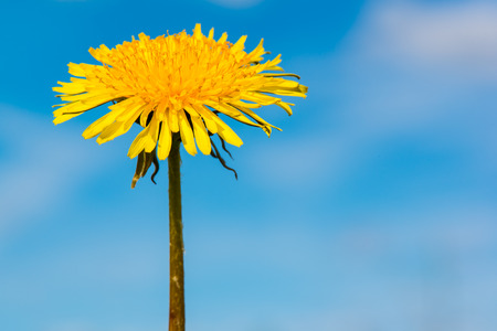Closeup of single dandelion flower Stock Photo