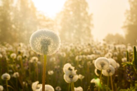 Soft dandelion field in sunrise light Stock Photo
