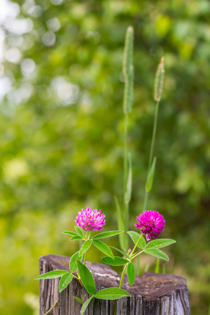 Pair of purple clover flowers