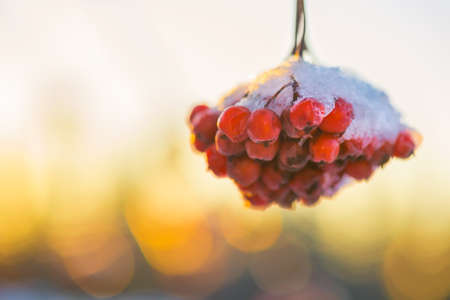 Winter berries Stock Photo