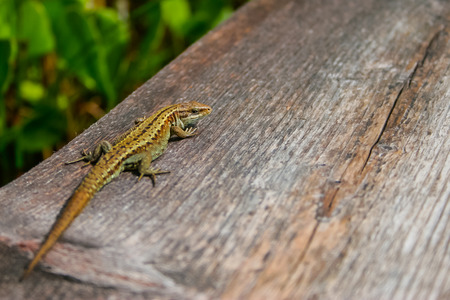 reptilian: Little lizard on wood