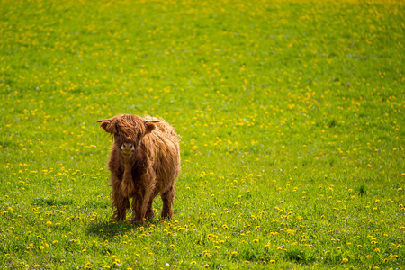 Highland cow in summer field