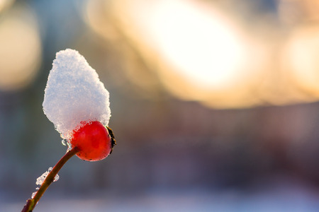 Closeup of red berry in winter