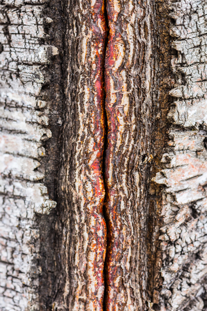 groove: Closeup of groove in birch tree trunk Stock Photo