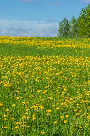 dandelion field: Dandelion field in countryside