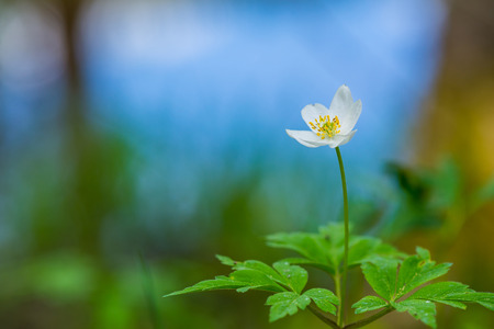 Single wood anemone in forest Stock Photo