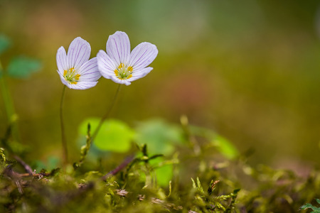 Pair of wood sorrel flowers