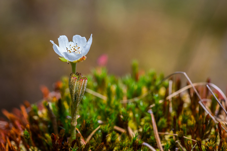 Single cloudberry flower in bog