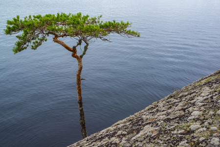 Bent pine tree on cliff near water