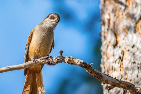 bird watching: Curious siberian jay bird watching on branch