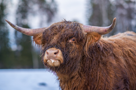 Highland cow watching