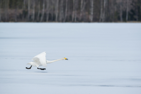 Running swan on ice Stock Photo