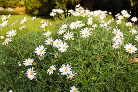 Field of weißes Gänseblümchen blühen im Frühling Wetter Standard-Bild - 13007688