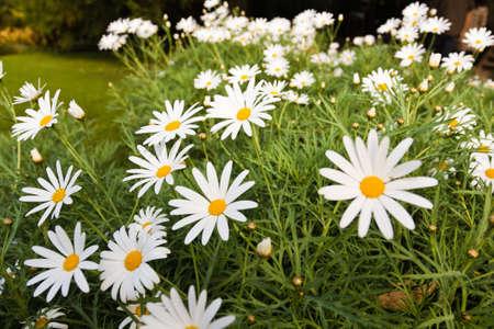 Field of weißes Gänseblümchen blühen im Frühling Wetter Standard-Bild