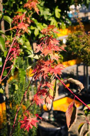kleinen Zweig der lebendigen bunten Ahornblatt im Herbst Standard-Bild