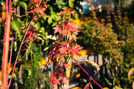 Kleinen Zweig der lebendigen bunten Ahornblatt im Herbst Standard-Bild - 13296089