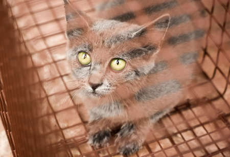 Gray Feral Kitten Captured in Humane Cage