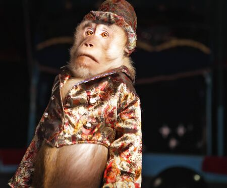chimpanzee: Circus chimpanzee monkey in a suit and a hat