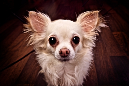 Funny small dog with big eyes and ears  photo