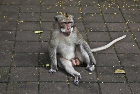 Monkey  Bali a zoo  Indonesia   photo