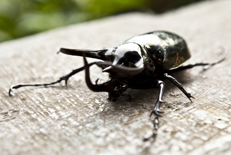 Big horned beetle photo